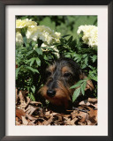 Long Haired Dachshund Among Carnations, USA Prints by Lynn M. Stone
