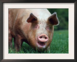 Domestic Pig, Europe Prints by  Reinhard