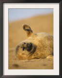 Grey Seal Pup 'Waving' Paw, England, UK Prints by Niall Benvie