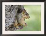 Eastern Fox Squirrel in Tree Cavity, Hill Country, Texas, USA Poster by Rolf Nussbaumer