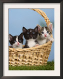 Domestic Cat, Three Kittens in a Basket Art by Petra Wegner