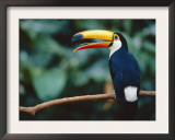 Toco Toucan in Tree, Igazu National Park, Brazil, Iguassu Poster by Staffan Widstrand
