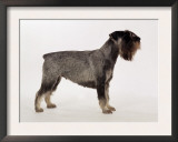 Side Profile of Schnauzer Poster by  Steimer