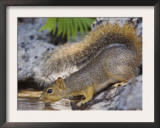 Eastern Fox Squirrel Drinking, Hill Country, Texas, USA Print by Rolf Nussbaumer