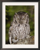 Eastern Screech-Owl Adult at Night, Texas, Usa, April 2006 Prints by Rolf Nussbaumer