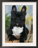 Domestic Dog, French Bulldog Prints by Petra Wegner