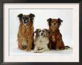 Mixed Breed Dogs Prints by  Steimer