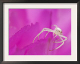 Crab Spider Adult on Lace Cactus Flower Texas, USA Posters by Rolf Nussbaumer