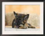 Domestic Dog, German Shepherd Alsatian Juvenile. 5 Months Old, Chewing on Rawhide Bone Prints by Petra Wegner