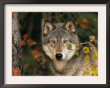 Grey Wolf Portrait, USA Prints by Lynn M. Stone