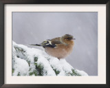 Common Chaffinch Adult on Spruce Branch in Snow, Switzerland, December Print by Rolf Nussbaumer
