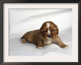 Very Young Cavalier King Charles Spaniel Puppy Prints by Petra Wegner