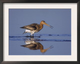 Black-Tailed Godwit Adult in Breeding Plumage, Calling, Lake Neusiedl, Austria Prints by Rolf Nussbaumer