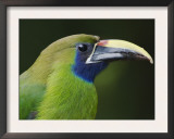 Emerald Toucanet Costa Rica Prints by Rolf Nussbaumer
