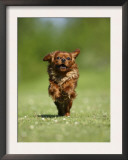 Cavalier King Charles Spaniel, Ruby, 10 Month, Running Fast in Garden Print by Petra Wegner