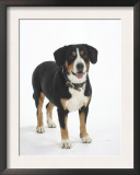 Entlebucher Mountain Dog Standing Art by Petra Wegner