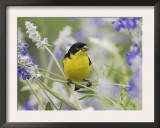 Lesser Goldfinch Black-Backed Male on Mealy Sage Hill Country, Texas, USA Prints by Rolf Nussbaumer