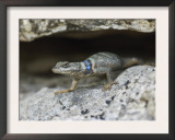 Crevice Spiny Lizard Hill Country, Texas, USA Posters by Rolf Nussbaumer