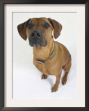 Domestic Dog, Rhodesian Ridgeback Looking Up Art by Petra Wegner
