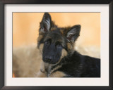 Domestic Dog, German Shepherd Alsatian Juvenile. 5 Months Old Prints by Petra Wegner