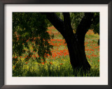 Common Poppies Flowering, Huesca Province, Aragon Region, Spain Posters by Inaki Relanzon