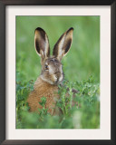 European Brown Hare Juvenile in Field, Lake Neusiedl, Austria Art by Rolf Nussbaumer
