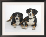 Two Entlebucher Mountain Dogs Lying Down Print by Petra Wegner
