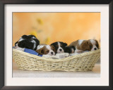 Domestic Dogs, Five Cavalier King Charles Spaniel Puppies, 7 Weeks Old, Sleeping in Basket Prints by Petra Wegner