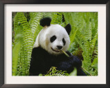 Giant Panda Feeding, Qionglai Mtns, Sichuan, China Prints by Lynn M. Stone