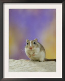 Gerbil Prints by  Steimer