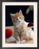 Norwegian Forest Kitten Prints by Petra Wegner