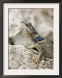 Crevice Spiny Lizard Hill Country, Texas, USA Art by Rolf Nussbaumer