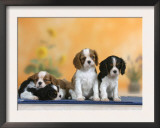 Domestic Dogs, Four Cavalier King Charles Spaniel Puppies, 7 Weeks Old, of Different Colours Print by Petra Wegner