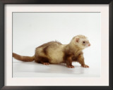 Ferret Prints by  Steimer