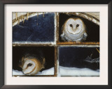 Barn Owls Looking out of a Barn Window Germany Art by Dietmar Nill