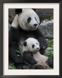 Giant Panda Mother and Baby, Wolong Nature Reserve, China Prints by Eric Baccega