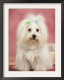 Coton De Tulear Dog Sitting Down Poster by Petra Wegner