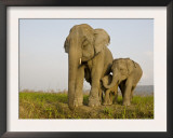 Indian Elephant Mother with 5-Day Baby and its Older Sibling, Controlled Conditions, Assam, India Prints by T.j. Rich