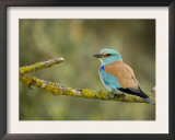 Common Roller Perched, South Spain Print by Inaki Relanzon