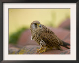 Lesser Kestrel Female on Roof Tiles, South Spain Prints by Inaki Relanzon