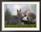 Silver Miniature Poodle Sniffing a Blue Dwarf Rabbit Print by Petra Wegner