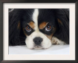 Cavalier King Charles Spaniel, Tricolour, Portrait Prints by Petra Wegner