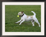 Parson Russell Terrier Running with a Ball in its Mouth Poster by Petra Wegner