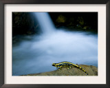 European Salamander on Rock in Stream, Pyrenees, Navarra Region, Spain Prints by Inaki Relanzon