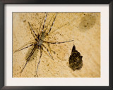 Unidentified Spider with Eggs in a Cave, Ankarana Special Reserve, Ambilobe, North Madagascar Prints by Inaki Relanzon