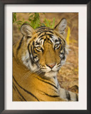 Bengal Tiger Resting Portrait, Ranthambhore Np, Rajasthan, India Prints by T.j. Rich