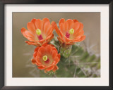Claret Cup Cactus Flowers, Hill Country, Texas, USA Poster by Rolf Nussbaumer