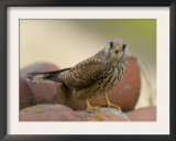 Lesser Kestrel Female on Roof Tiles, South Spain Poster by Inaki Relanzon