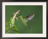 "Green-Crowned Brilliant Female in Flight Feeding on ""Snakeface"" Flower, Central Valley, Costa Rica Print by Rolf Nussbaumer"