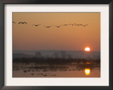Common Cranes Flying in Formation at Sunrise, Hornborgasjon Lake, Sweden Art by Inaki Relanzon